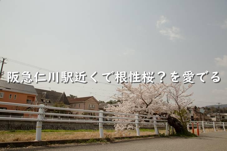 阪急仁川駅近くで根性桜?を愛でる【西宮市】
