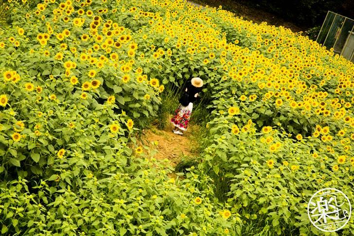 兵庫県でひまわりの写真を撮る!ひまわり柚遊農園に行くなら平日がオススメ