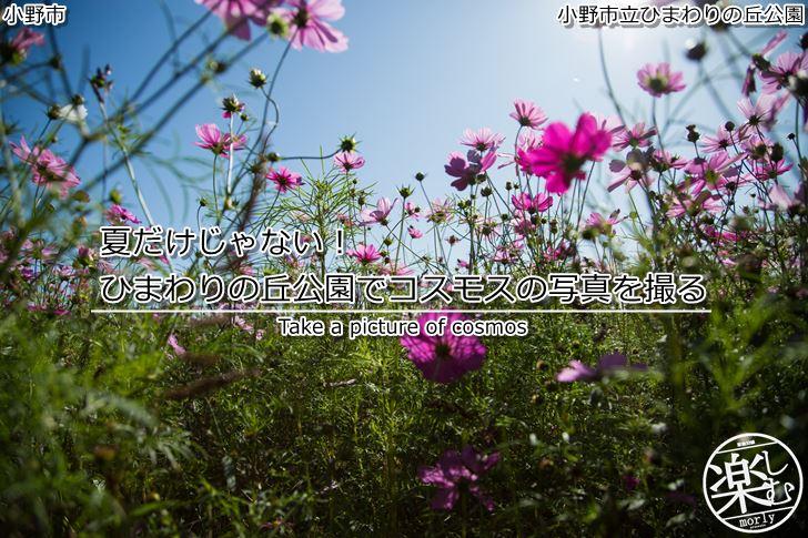 夏だけじゃない!ひまわりの丘公園でコスモス(秋桜)の写真を撮る